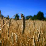 Mąka sojowa dla alergików